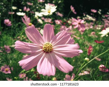Pink flowers of Cosmos in the north of Thailand with vintage style