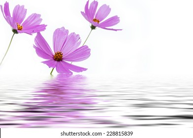 Pink flowers cosmos on a white background reflected in water