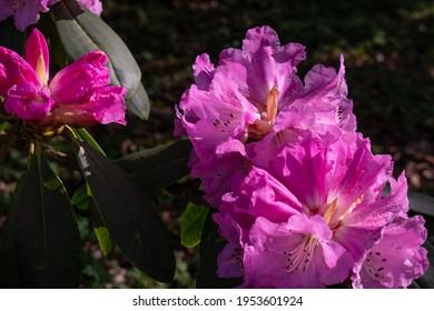 Pink flowers in danish garden