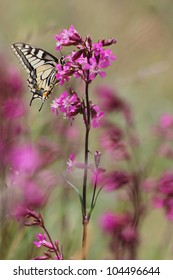 Pink flowers with European Swallowtail butterfly Papilio machaon
