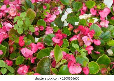 Pink flowers of everblooming begonia in flowerbed, pink begonia semperflorens growing in the park