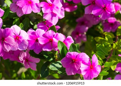 Pink flowers of an exotic tropical shrub Catharanthus roseus, commonly known as the Madagascar periwinkle, rose periwinkle, or rosy periwinkle.