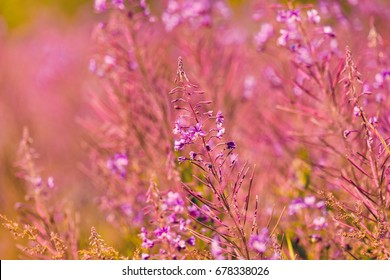 Pink flowers fireweed on spring meadow - (Chamaenerion angustifolium, also known as great willowherb and rosebay willowherb)