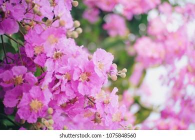 Pink flowers, floribunda, lagerstroemia
