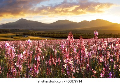 Pink flowers in full bloom at sunset, Eastern Cape Farmlands, South Africa.These flowers grows after the fields has burned and the fields had lots of rain.