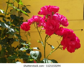 pink flowers of the garden