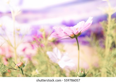 pink flowers in the garden , cosmos flowers in the park vintage style
