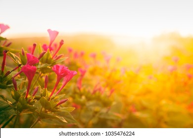 Pink flowers in the garden lit in the morning sun and shallow depth of field.