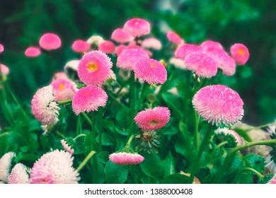 pink flowers in the garden in soft focus.