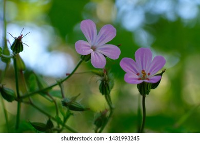 Pink flowers of Geranium robertianum, commonly known as herb-Robert, red robin - medicinal herbs