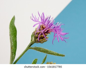 Pink flowers greater knapweed, Centaurea scabiosa, isolated on a bavarian colors blue/white background