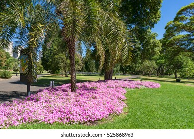 Pink flowers, green grass, turf and palm trees. Alley in Royal Botanic Garden, Sydney, Australia