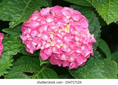 Pink flowers of Hydrangea macrophylla.