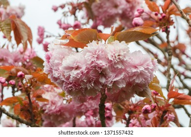 Pink flowers of japanese cherry tree in a garden during spring