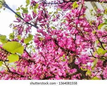 Pink flowers of Judas or love tree, Cercis siliquastrum