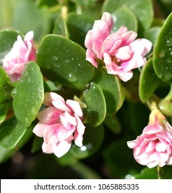 Pink Flowers of Kalanchoe