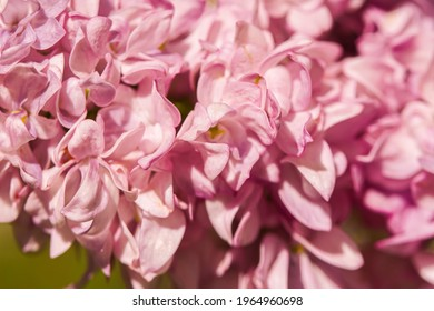 Pink flowers of lilac. Macro photo. Texture of pink petals. Background from petals. Lilac inflorescences on a branch. Pink buds of lilac. Spring flowers. lat. Syringa