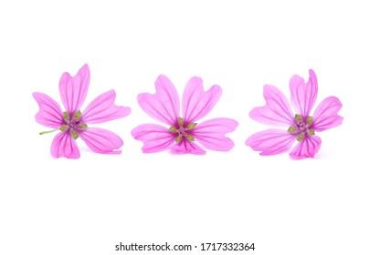 Pink flowers of mallow isolated on white, Malva sylvestris