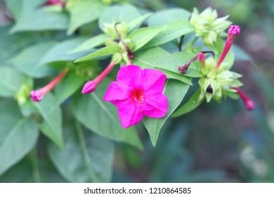 Pink flowers marvel of Peru Mirabilis jalapa