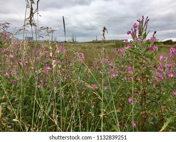 Pink flowers in meadow, Seaton Carew Sand Dunes, Hartlepool, England