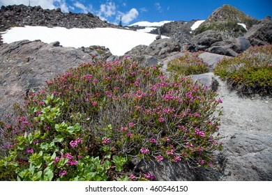 Pink Flowers at Mount St. Helens