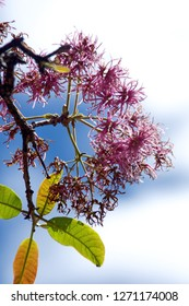 Pink flowers and new leaves on a branch of an arupo tree in Matriz Square, Cotacachi, Ecuador