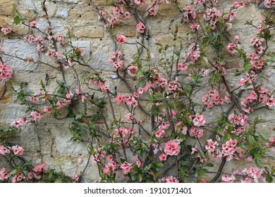 Pink flowers next to a white wall