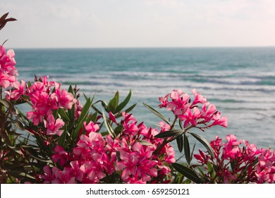 Pink flowers of oleander near the sea