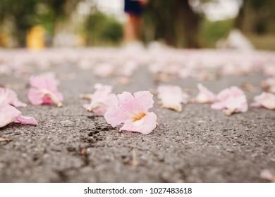 Pink flowers on asphalt road floor. Trumpet trees or tabebuia rosea in spring season