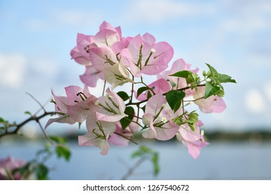 pink flowers on blue background.