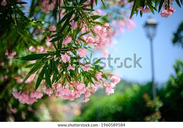 pink-flowers-on-blue-sky-600w-1960589584