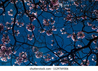 Pink flowers on branches of trees over blue sky