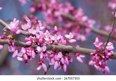 Pink flowers on Eastern Redbud tree in early spring