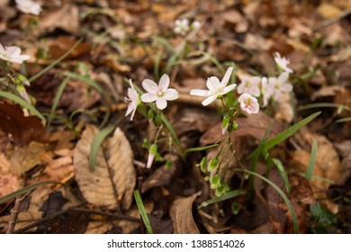 Pink flowers on a forest floor.  St. Mary's River State Park, Leonardtown, MD, USA.