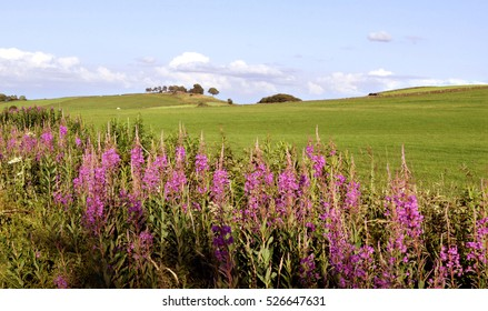 Pink Flowers on Green Field, Countryside of Scottish Highlands, Nature Scotland, United Kingdom