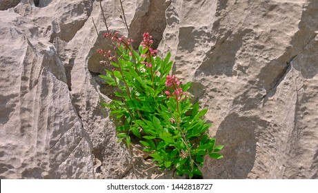 Pink Flowers on the karst limestone surface with solution flutes and bevels, decantation runnels and fluting on the Montenegro karst plateau, Dinaric mountain.