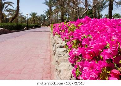 pink flowers on the park road. garden arrangement in the park.