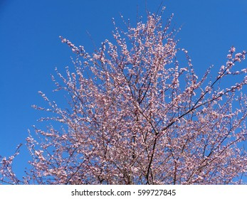 Pink flowers on plum tree