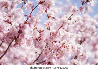 Pink flowers on a tree.