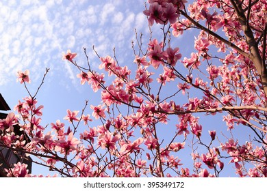 Pink flowers on a tree under the clouds