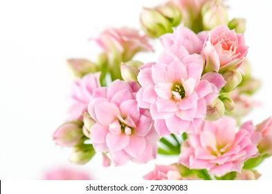 Pink flowers on white background, Kalanchoe blossfeldiana.