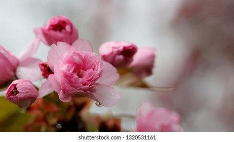 Pink flowers open and closed with water drops.