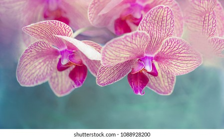 Pink Flowers - Pink Orchids (Orchidaceae)