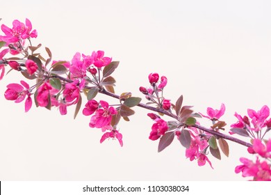 Pink flowers over a withe background