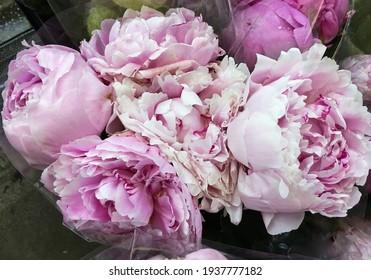 Pink flowers peonies flowering on background pink peonies.