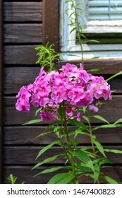 Pink flowers phlox paniculata (fall, garden, perennial or summer phlox). Flowering branch of pink phlox in the summer garden with wooden house wall in the background