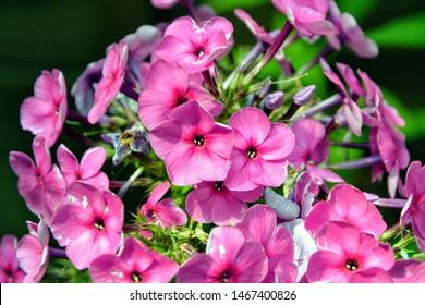 Pink flowers phlox paniculata (fall, garden, perennial or summer phlox). Flowering branch of pink phlox in the summer garden