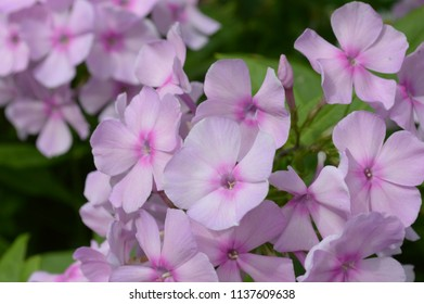 Pink flowers Phlox (Phlox paniculata) on green background with soft selective focus. Phlox is a garden summer flower. Beautiful branch of light pink phlox flowers with green leaves in a garden.