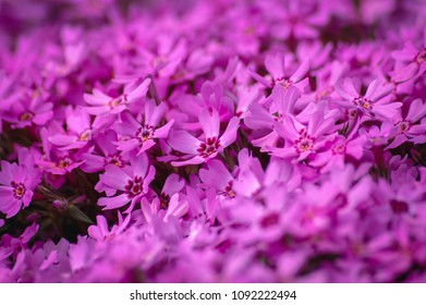 Pink flowers of Phlox subulata flowering plant in garden, commonly known as moss phlox or creeping phlox