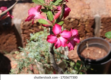 pink flowers plant in a pot
